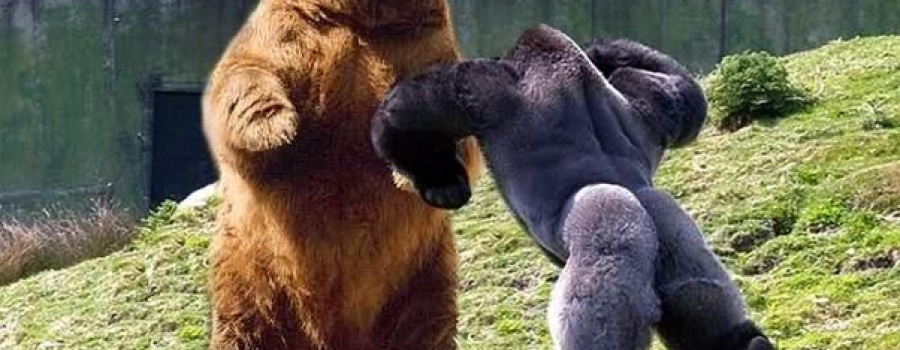 Gorilla Vs. Grizzly – The Ultimate Duel